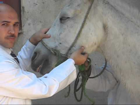 Measuring Pulse rate in Horse