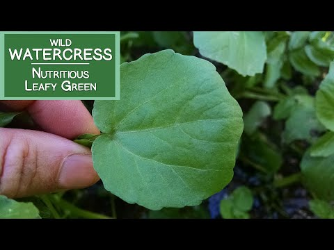 Watercress, A Wild Nutritious Leafy Green