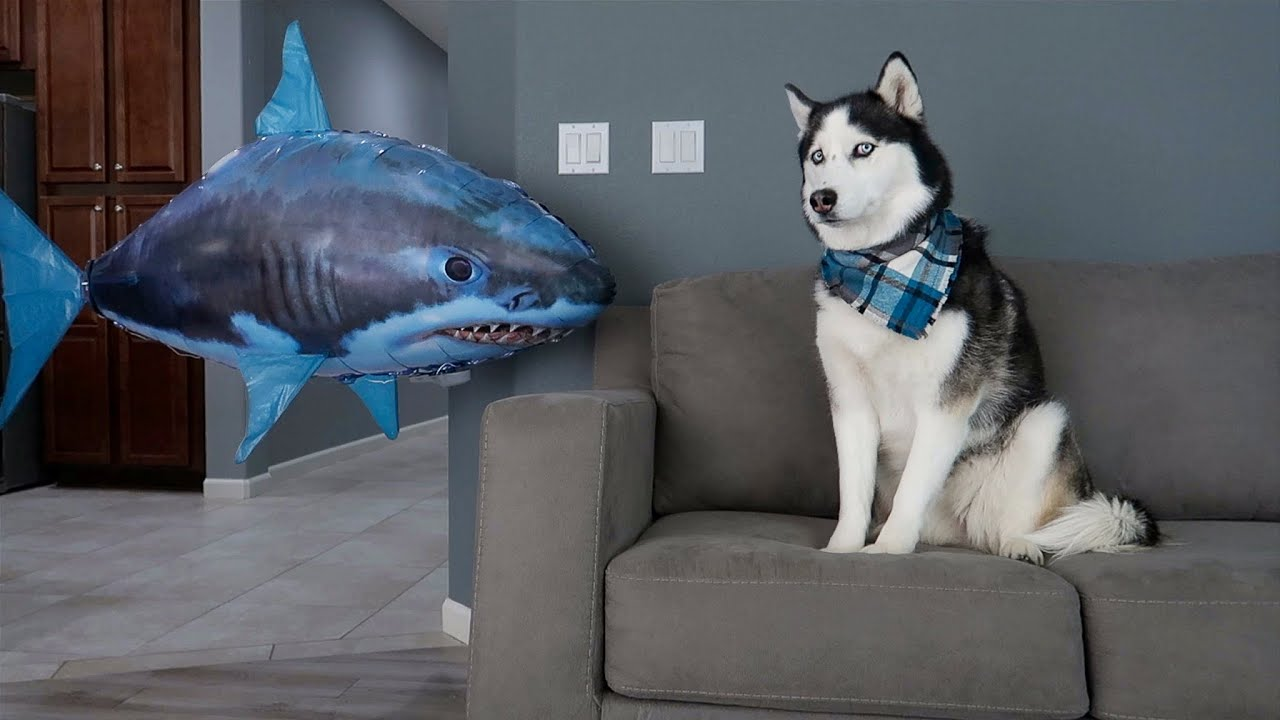 Husky Pranked By Floating Shark!