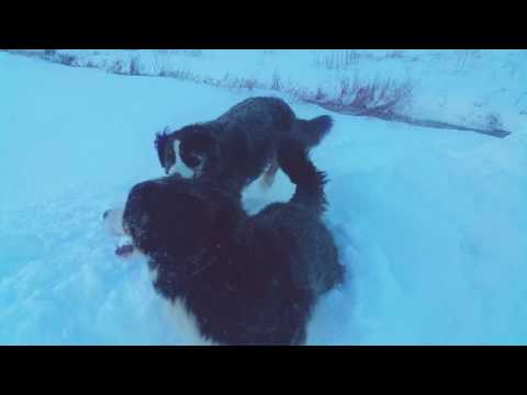 Two Bernese Mountain Dogs Playing King of the Mountain