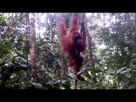 A mother and baby orangutan playing in bukit lawang