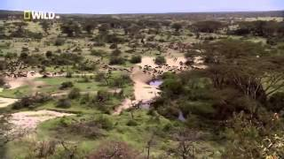 Wild Lion Ganglands   National Geographic Documentary