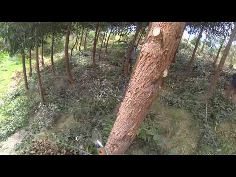 Pruning eucalypts – growing heartwood