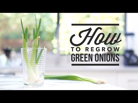 How to Regrow Green Onions (Scallions) // Tip Tuesdays with Angel Wong