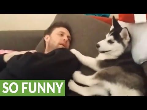 Husky puppy has