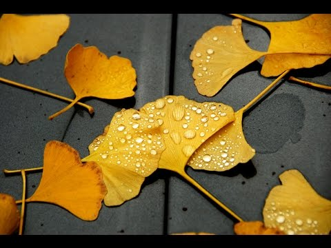 The Fifth Suitor - GINKGO LEAF in the rain of November