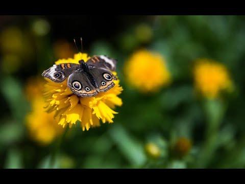 Desert Botanical Garden promotes milkweed to save monarch butterfly | Cronkite News