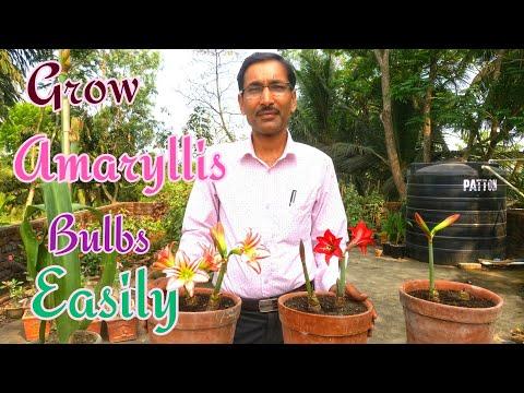 How to Grow AMARYLLIS BULBS at Home Easily