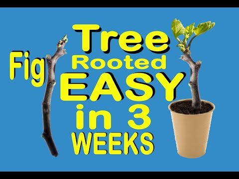 FIG Branch to TREE in 3 WEEKS So EASY Simple Propagation Just Water