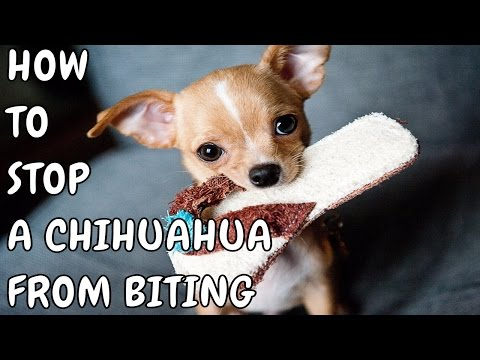 🔆🔆🔆How to Stop a Chihuahua from Biting ❤ How to Stop a Dog from Chewing - FREE Mini Course🔆🔆🔆