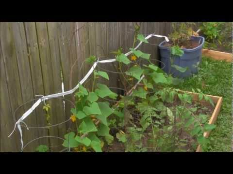 Tree Branch Cucumber Trellis OR The Easiest Trellis you can make!