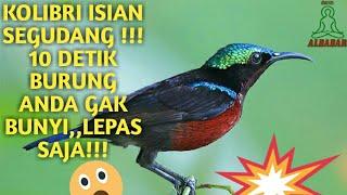 Isian Kolibri Ninja (konin) Segudang...burung Gak Nyaut Lepas Aja!!! Download Mp3 Mp4 3GP HD Video