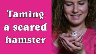 Taming a scared hamster