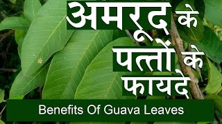अमरुद के पत्तों के फायदे | Benefits of Guava Leaves for Weight Loss & Liver in Hindi