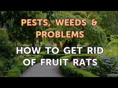 How to Get Rid of Fruit Rats