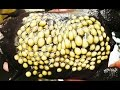 Trypophobia Lovers; Meet the Surinam Toad