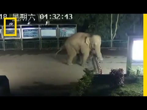 Asian Elephant Sneaks Across Laos-China Border | National Geographic