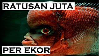 Top 10 Super Red Monkey Flowerhorn Fishes - Red Monster Flowerhorn