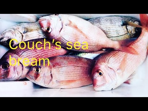 SLAYING COUCHS SEA BREAM!! Dolphins, Lobster traps, and more!! Through Friends fish in the Water !