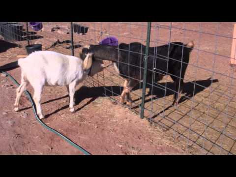 Goat doe in heat - example
