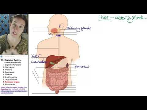Digestive system 8- Liver, pancreas, gall bladder