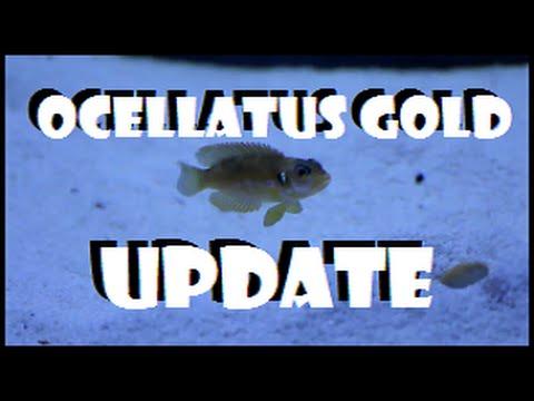 Lamprologus Ocellatus Gold Shell Dweller Update