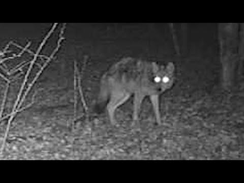 NJ Coyote Harassing Whitetail Deer