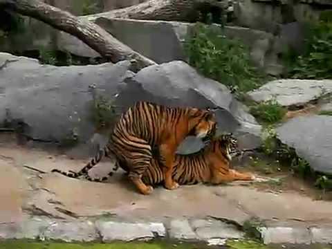 Xxx Mp4 Tiger Sex Tape 3gp Sex