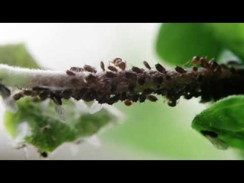 Ants Harvesting Honeydew From Aphids