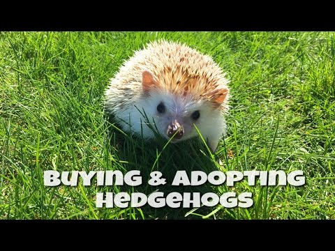 Where to Buy or Adopt a Hedgehog