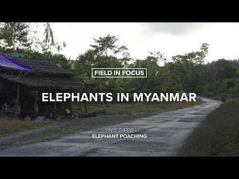 FIELD IN FOCUS   Elephants in Myanmar: Elephant Poaching