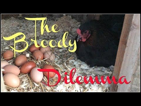 The Broody Dilemma!