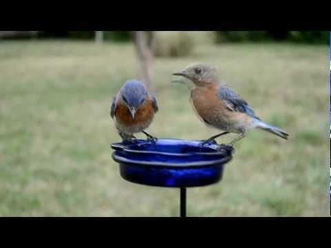 Wild Bird House : Bluebirds Feeding, a Nesting Pair Eating Mealworms : Backyard Bird Watching
