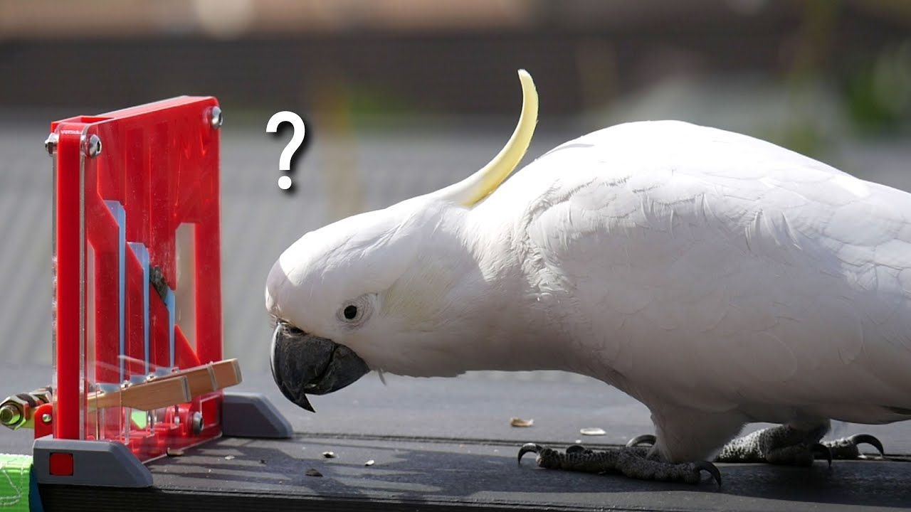 Can this Cute Cockatoo Solve the Puzzle? (All new designs!)