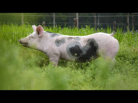 How to Transport Your Potbellied Pig | Pet Pigs