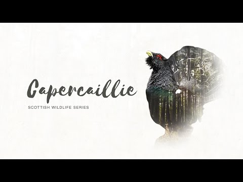 Scottish Wildlife Series: Capercaillie