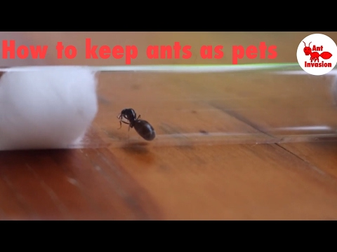 How To Keep Ants As Pets