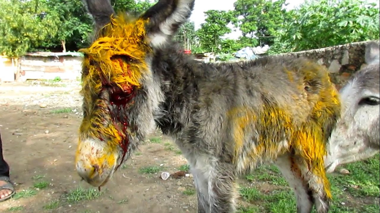Injured baby donkey rescued; watch her mama's reaction.