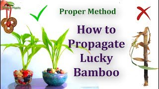 How to Propagate Lucky Bamboo - Proper Method //GREEN PLANTS