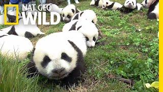 Record: 42 Pandas Born in Breeding Program This Year | Nat Geo Wild