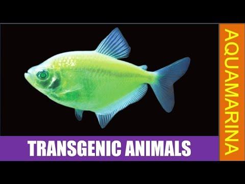 Top 10 transgenic animals (MUST SEE) (1080P HD)