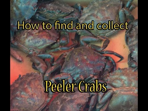 How to collect Peeler Crab