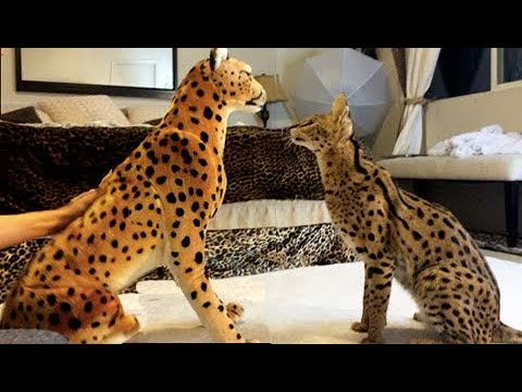 FUNNY Cats! SERVAL VS CHEETAH!