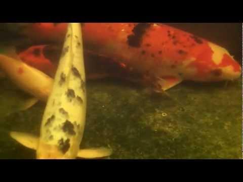 koi underwater film