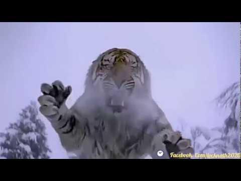 Tiger's vs Man Big Fighting  Video in Iceberg.