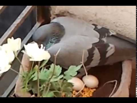 Pigeon nest with two eggs at Home