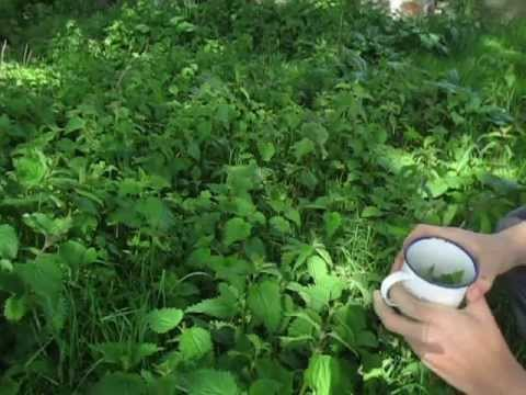 How to make a Nutritious Tea from Nettles