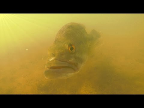 Underwater Footage - SPAWN - Bass Fishing on Beds