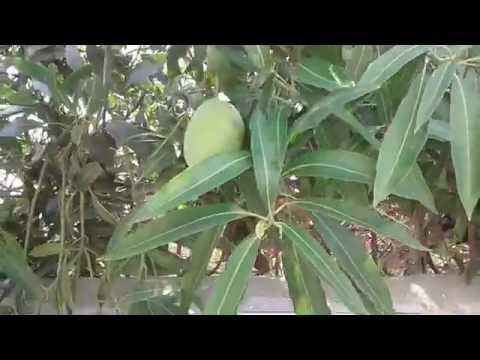 best mango tree in the india