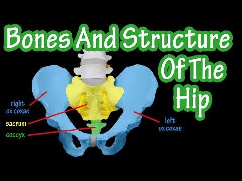 Bones Of The Hip - Structure Of The Hip - Pelvic Girdle Anatomy - Bones Of The Pelvis